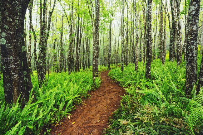 Trail through beautiful ash trees and native ferns in the Makawao Forest Reserve, Makawao, Maui, Hawaii, United States of America