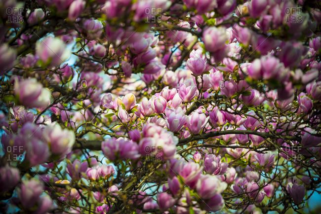 Beautiful pink magnolias blossoming, Ascona, Ticino, Switzerland