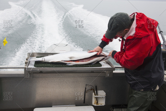 Fish guide cleaning salmon on back of boat during trip back to Homer, Alaska, United States of America