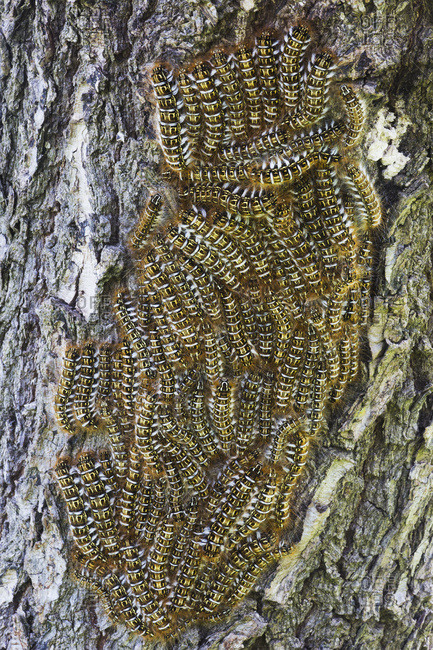 A cluster of catepillars congregate on a tree, Bolivia