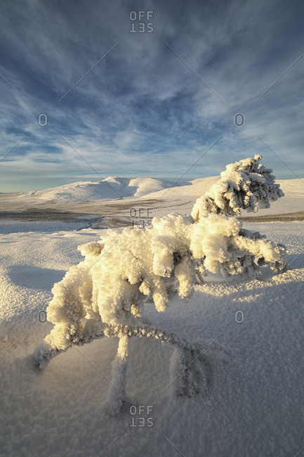 A winter scene of a snow covered tree on the north flanks of Crow Mountain, near Old Crow, Yukon, Canada