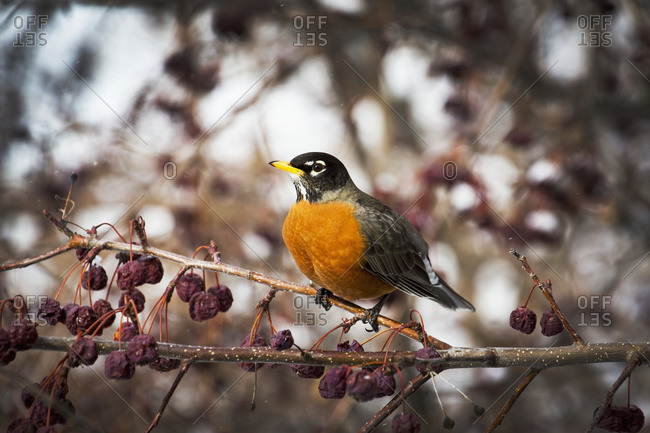 Close up of a robin in a crab apple tree with dried out apples hanging on branches, Calgary, Alberta, Canada