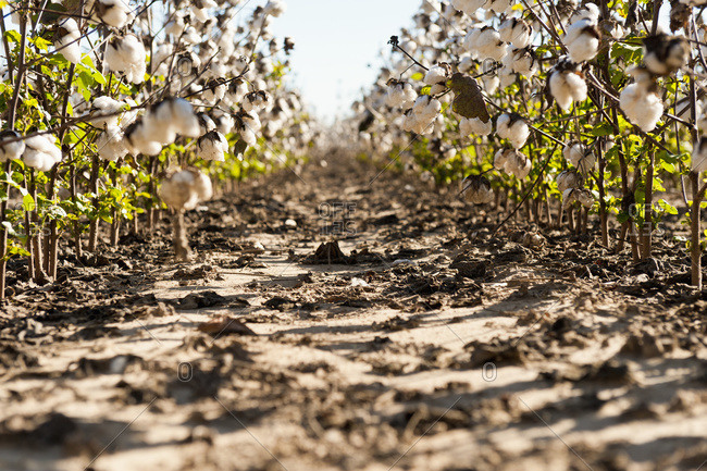 Rows of ripe cotton, Hinds County, Mississippi, United States of America