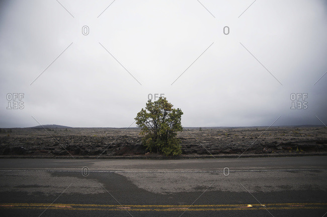 A single tree clings to the roadside in Hawaii Volcanoes National Park, Island of Hawaii, Hawaii, United States of America