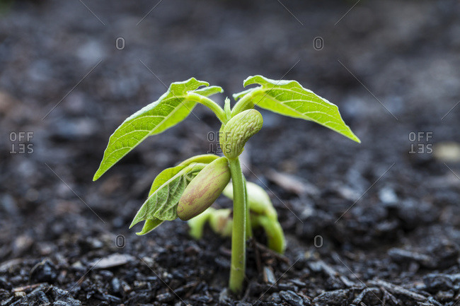 Close up of bean seedlings emerging from the soil and showing their first set of leaves, Toronto, Ontario, Canada