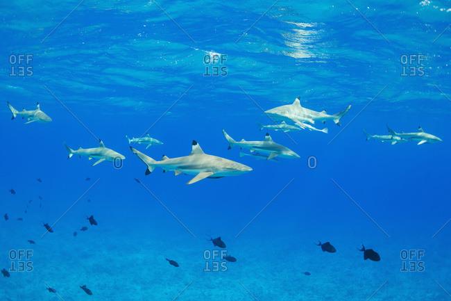 Black tip reef sharks underwater, Bora Bora, French Polynesia
