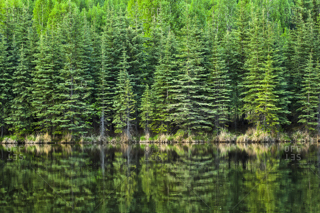 Fresh greens of boreal forest reflect on Beaver Pond, Chena River State Recreation Area, Fairbanks, Alaska, United States of America