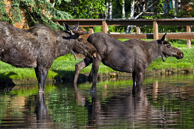 Two young bull moose drinking water in a creek, Chena River State Recreation Area, Fairbanks, Alaska, United States of America