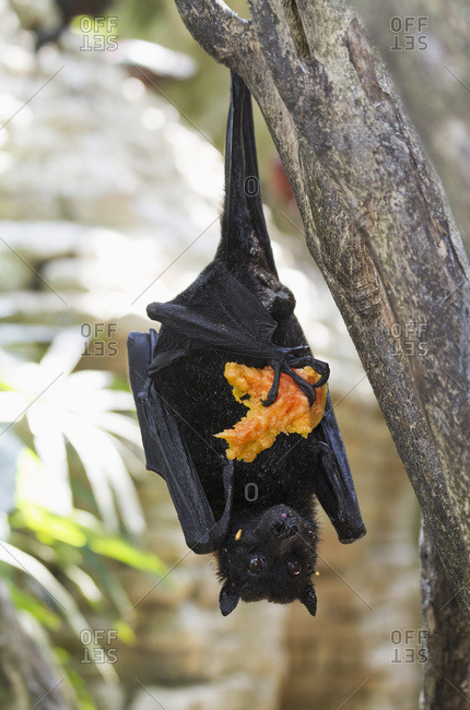 Megabat or fruit bat holding a fruit in Bali Bird Park, Batubulan, Bali, Indonesia