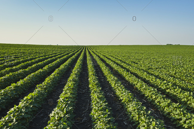 A healthy green mid-season soybean field two weeks after being sprayed with herbicide in central Iowa, dead broadleaf weeds can be seen in between the rows, Iowa, United States of America