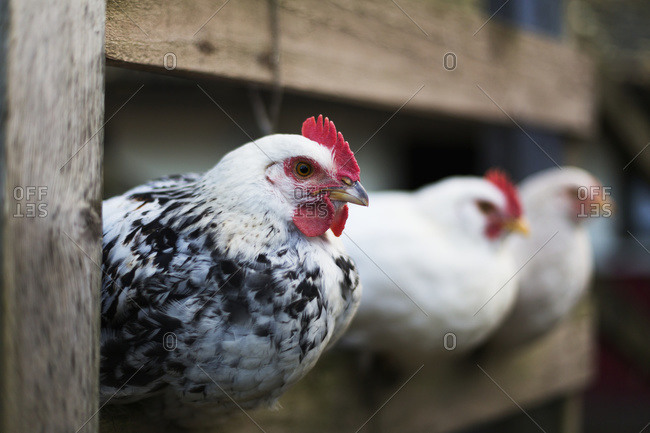 Chickens (Gallus gallus domesticus) in a pen, Dunstanburgh, Northumberland, England