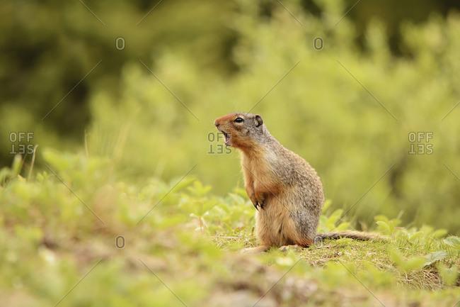 Ground squirrel calling, Kananaskis, Alberta, Canada