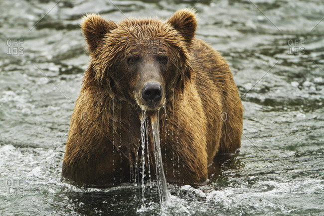 Brown bear (Ursus arctos) looks up from fishing for salmon in Brooks River, water streaming from its face, Katmai National Park and Preserve, Alaska, United States of America