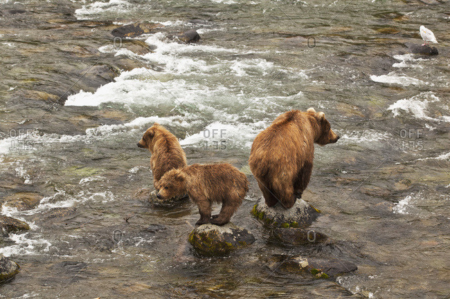 Brown bear (Ursus arctos) sow with two yearling cubs standing on boulders in Brooks River looking for salmon, Katmai National Park and Preserve, Alaska, United States of America