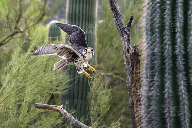 Prairie falcon (falco mexicanus), Sonoran desert, Arizona, United States of America