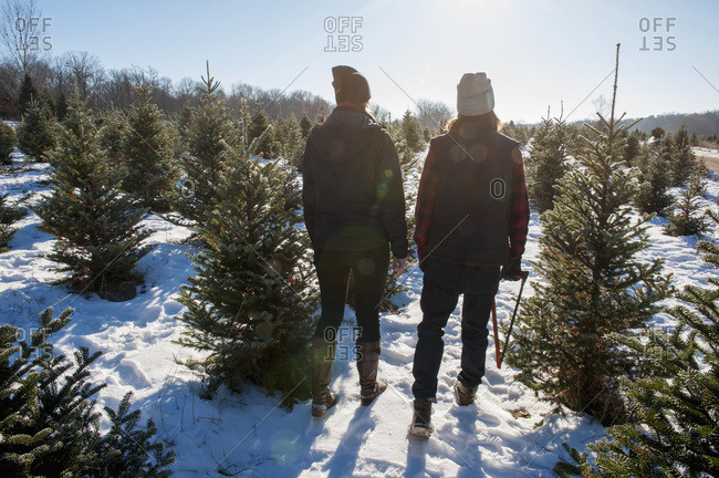 A couple walking to choose and cut a fresh Christmas tree at a Christmas tree farm, Minnesota, United States of America