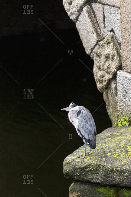 Great blue heron (Ardea herodias) standing on stone with stone arch behind, Dublin, County Dublin, Ireland