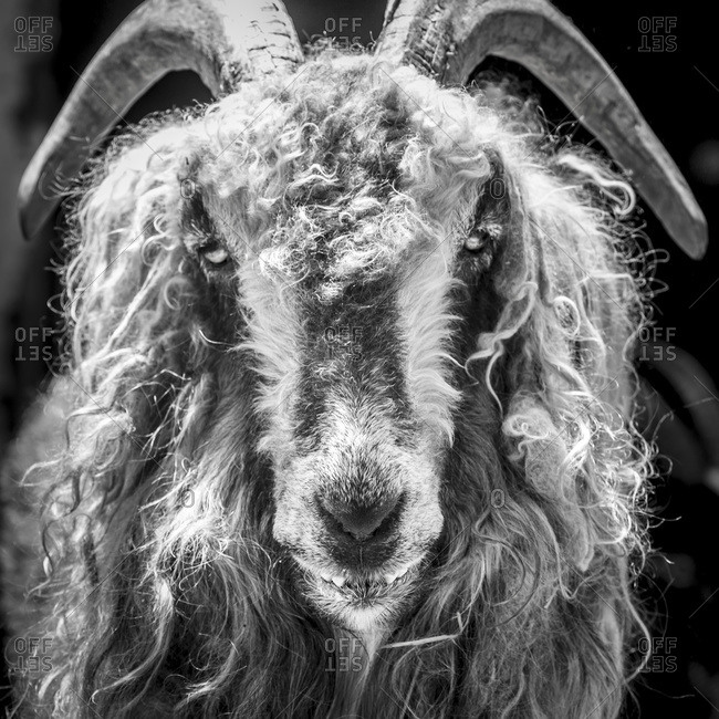 Black and white of goat, Hampstead, Maryland, United States of America