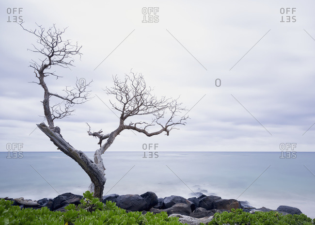 Old leafless tree at the water's edge, Wailua, Kauai, Hawaii, United States of America