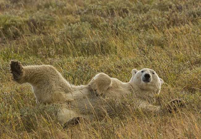 Polar bear (ursus maritimus) rolling around in the grass along the south shore of Hudson Bay, Manitoba, Canada