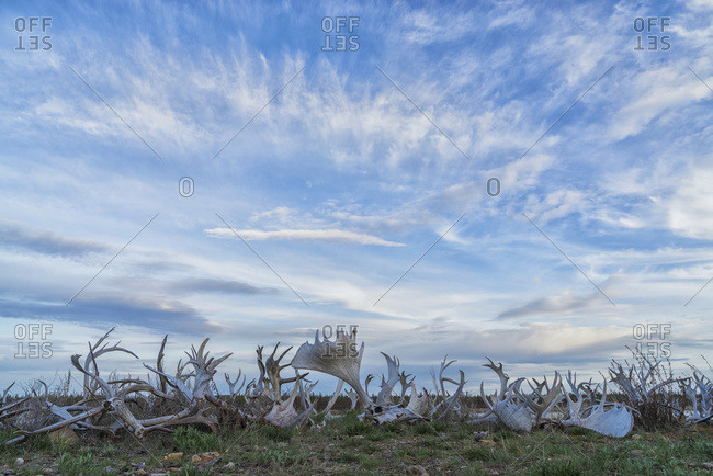 A line of caribou and moose antlers line the shoreline of the Porcupine River, Old Crow, Yukon, Canada
