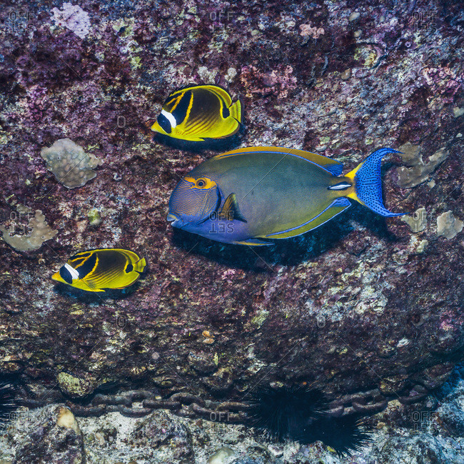 Two Raccoon Butterflyfish and an Eyestripe Surgeonfish swim past a lava boulder being used to anchor a mooring, Kona, Island of Hawaii, Hawaii, United States of America