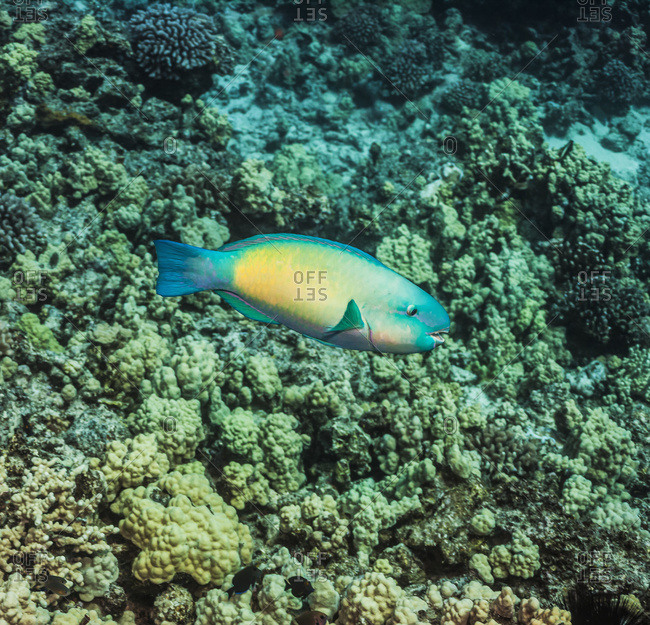 A terminal male Bullethead Parrotfish (Chlororus sordidus) swimming over coral, Kona, Island of Hawaii, Hawaii, United States of America