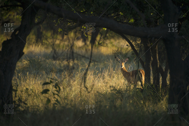 Wary impala (Aepyceros melampus) looking through bushes at dawn, Liwonde National Park, Malawi