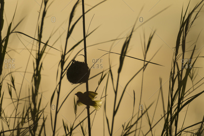 Silhouette of weaverbird beside nest in reeds, Cape Maclear in the evening, Lake Malawi, Malawi