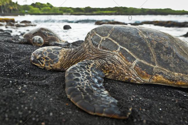 Close up of Hawaiian Green Sea Turtle, Punaluu Black Sand Beach, Island of Hawaii, Hawaii, United States of America
