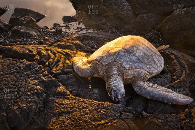 Green sea turtle (Chelonia mydas), Island of Hawaii, Hawaii, United States of America