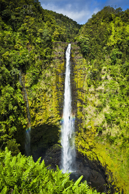Akaka Falls drop down a moss covered cliff surrounded with tropical rainforest, lush green ferns are in the foreground, Island of Hawaii, Hawaii, United States of America