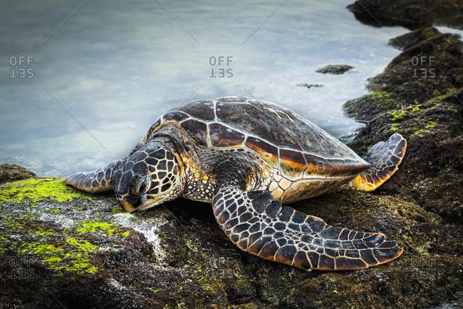 Close up of Hawaiian Green Sea Turtle (Chelonia mydas) at tide pool in Kaloko-Honokohau National Historical Park, Island of Hawaii, Hawaii, United States of America