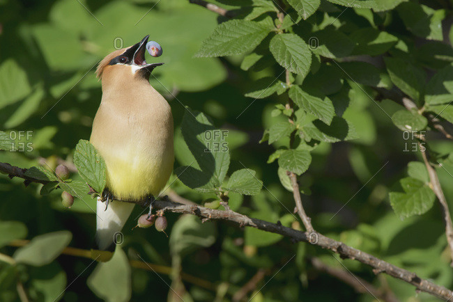 Cedar Waxwing (Bombycilla cedrorum) eats haskap berry (Lonicera caerulea), Warman, Saskatchewan, Canada