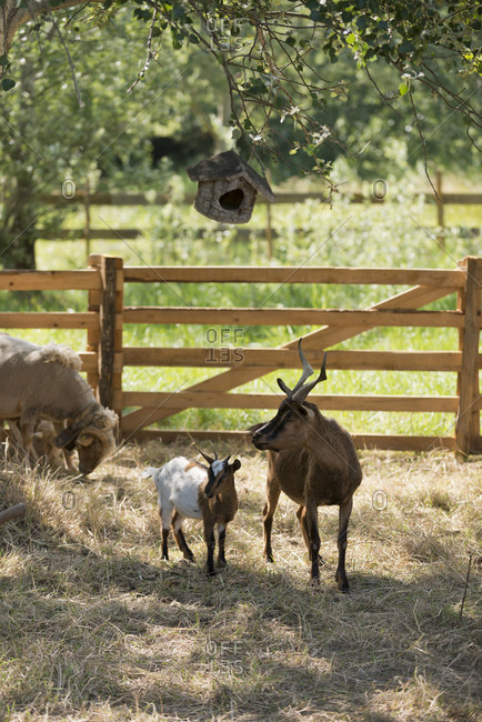 Goats in a pasture in front of a wooden gate