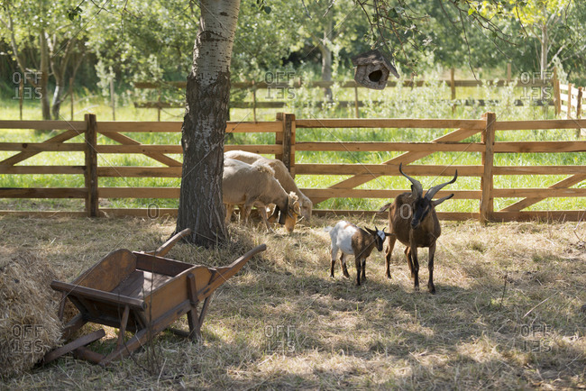 Goats and sheep in a farm pasture