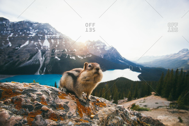 A chipmunk with filled cheeks at Banff National Park, Canada