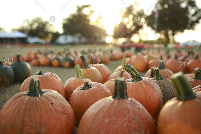 Pumpkins on a fall afternoon