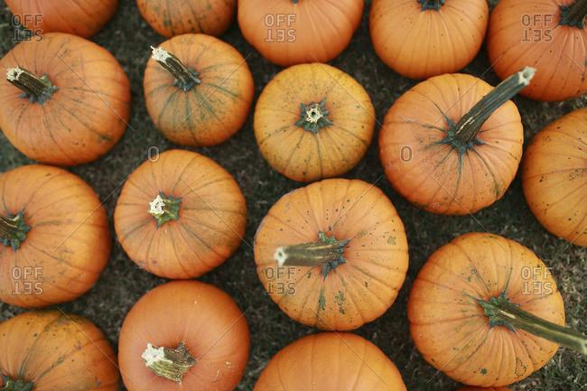 Overhead view of orange pumpkins