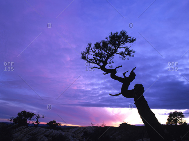 Twisted tree on rock at sunset