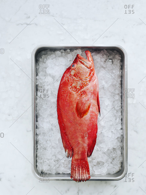 Red grouper in a pan with ice on marble table