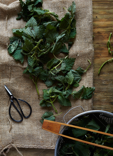 Overhead view of stinging nettle leaves on burlap cloth with shears