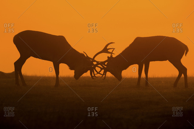 Deer rutting silhouetted at dusk