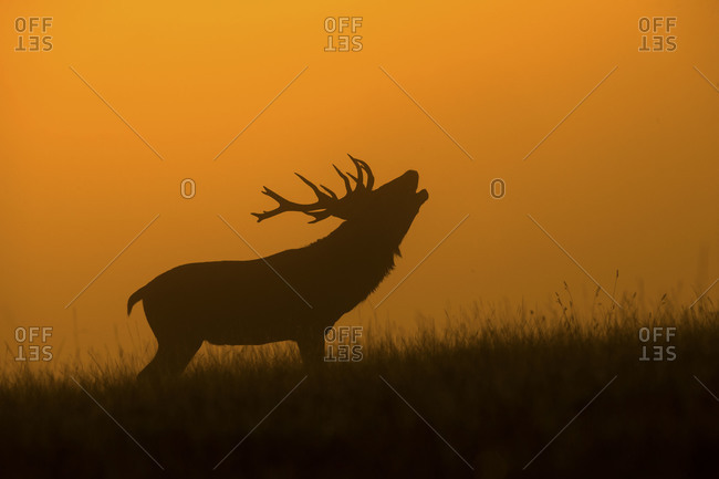 Deer calling out silhouetted at dusk