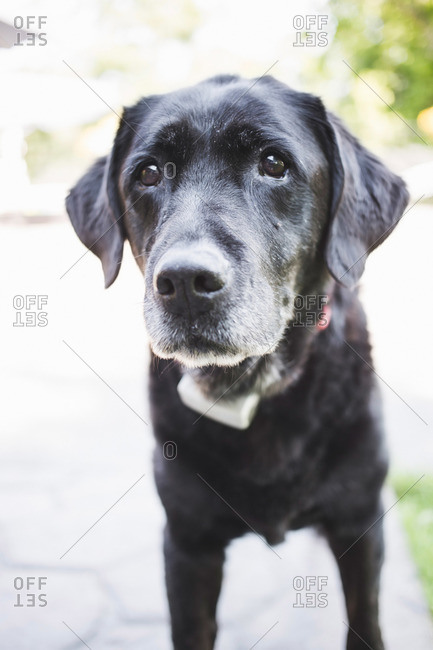 Portrait of a cute black lab dog with gray hairs on his muzzle