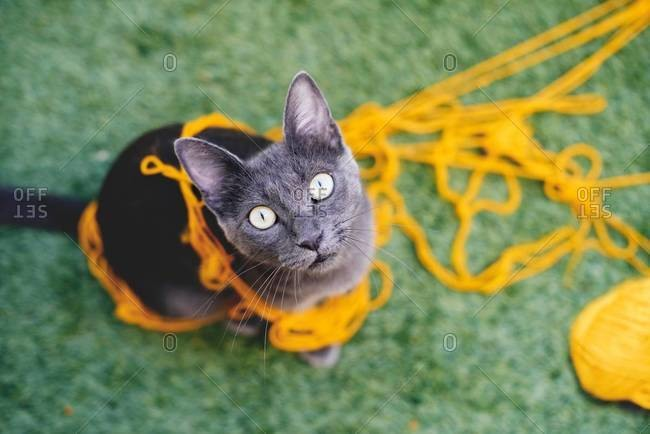 Russian blue tangled in yellow wool looking up to camera