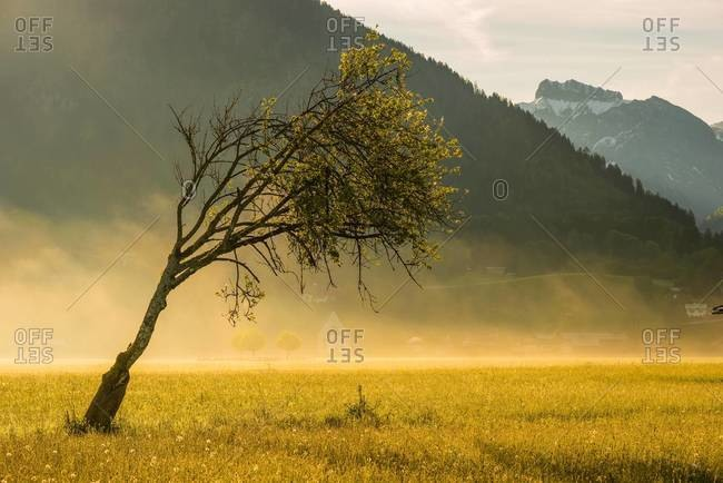 Single bent beech on a hazy meadow, Oberstdorf
