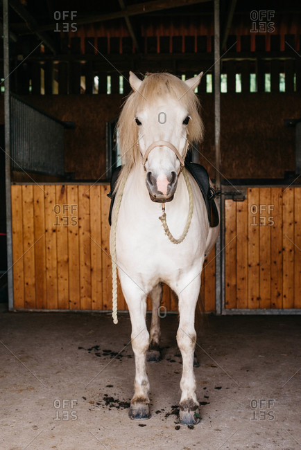 Saddled white horse in a stable