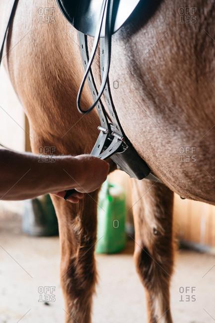 Adjusting saddle straps on a horse