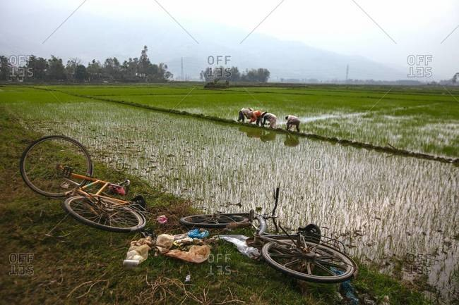 Farmhands work in rice paddies in Vietnam
